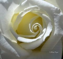 White Rose (sh10453) Tags: usa michigan annarbor