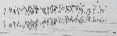 reflective flight #Florida #wildlife (NetAgra) Tags: light black reflection bird water weather birds grey florida wildlife waterfowl tamron pipers captivaisland dingdarlingnwr nikon7000