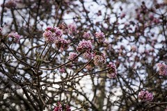 The Spring Thicket (HanWhittle) Tags: uk pink flowers blue winter brown flower green london nature floral beauty petals spring sticks bush nikon seasons natural time bloom british blooms weekends blooming d3200