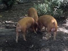Pigs Bollocks (doojohn701) Tags: uk food animals pigs dorset swine testicles bollocks