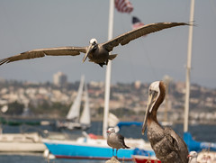 Brown Pelican (Pelecanus occidentalis) & Heermann's Gull (Larus heermanni) (ekroc101) Tags: california birds sandiego brownpelican shelterisland pelecanusoccidentalis heermannsgull larusheermanni