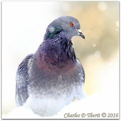 Rock Pigeon (ctofcsco) Tags: 11250 22 200mm 50d bird canon colorado coloradosprings ef200mmf2lisusm eos50d explore f22 gray green pigeon portrait profile purple rockpigeon snow supertelephoto bokeh explored geo:lat=3893083779 geo:lon=10489145279 geotagged gleneyrie nature northamerica telephoto wildlife unitedstates usa white winter