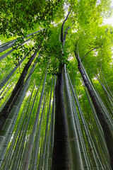 Bamboo and Trees (Role Bigler) Tags: nature japan forest kyoto natur arashiyama nippon wald bambus giantbamboo canoneos5dsr canonef1635isus