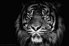 Sumatran Tiger B&W (MAC-Photography.co.uk) Tags: wild animal cat zoo tiger bigcat sumatrantiger