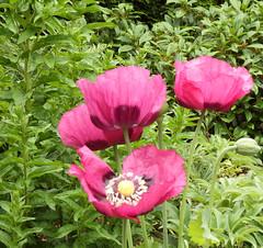 Klaprozen 2016 1 (megegj)) Tags: gert bloem flower fleur fiore tuin garden garten jardin
