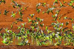 IMG_0159.jpg (Paul Williams www.IronAmmonitePhotography.com) Tags: bird budgerigar summer murmuration dryseason melopsittacusundulatus australia