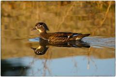 Lady Wood Duck (RKop) Tags: a550 70300gssm forestpark stlouis missouri raphaelkopanphotography