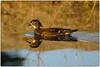 Lady Wood Duck (RKop) Tags: a550 70300gssm forestpark stlouis missouri raphaelkopanphotography sony