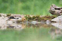 Don't forget to drink .... (Claudia Brockmann) Tags: green bird nature water birds forest reflections wasser wildlife natur wildanimal grn vgel wald spiegelung vogel hawfinch kernbeisser hawfinchbaby kernbeisserjunges