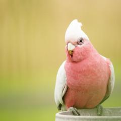 Seeking sustenance (judith511) Tags: odc seeking galag feeder bird pink grey australiannativebird naturethroughthelens
