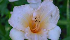 Rider (BKHagar *Kim*) Tags: flower yard bug garden insect al lily blossom outdoor alabama lilies bloom grasshopper tanner bkhagar