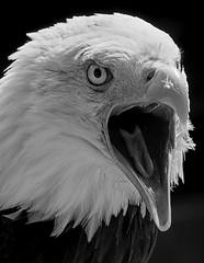 The Scream (ORIONSM) Tags: bald eagle prey bird raptor portrait scream olympus omdm10