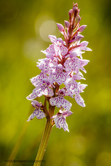 Heath Spotted Orchid (ABPhotosUK) Tags: flowers macro canon orchids wildlife devon nocrop dartmoor backlighting dactylorhizamaculata heathspottedorchid rivertavy plantsandfungi eos7dmarkii