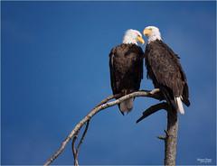 resident eagles (marneejill) Tags: closeup loving couple pair bald