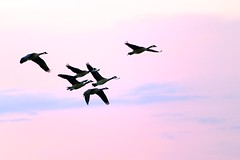 Geese in Pink (imageClear) Tags: pink sunset sky nature beauty clouds evening fly geese aperture nikon soft flickr sundown pastel lovely overhead canadageese photostream bif flyby 80400mm d600 imageclear