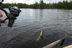 Ca mord ! (Samuel Raison) Tags: nature finland reindeer mouse fishing nikon mice barbecue pike souris barque renne pche finlande brochet nikond2xs nikond3 nikon41635mmafsgvr