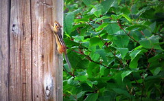 (timetomakethepasta) Tags: chipmunk motion telephone pole outdoors nature photography green shrubbery