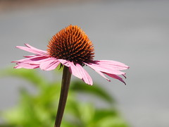Purple Coneflower (RonG58) Tags: purpleconeflower maineveteranshomes augusta coneflower echinaceapurpurea echinacea domesticflowers flowerbed flowers hana flower floweringplant botanical plants plant macro maine rong58 usa images summer pictures photooftheday day image color photography photo photos us light trip nikon picture digitalcamera picoftheday nikoncoolpixp900 coolpix photograph new live geotagged nature travel exploration