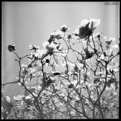 Magnolia Blossoms No. 4 (James Mundie) Tags: jamesmundie jamesgmundie profjasmundie jimmundie mundie copyrightjamesgmundieallrightsreserved copyrightprotected mediumformat squareformat 120film 6x6 film analog mittelformat yashicaa tlr twinlensreflex blackandwhite blancetnoir noir black monochrome monochromatic bw blancoynegro biancoenero schwarzweis