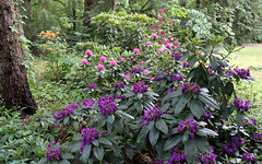 my rhododendron jungle 2015 (1) (kexi) Tags: flowers many rhododendrons pink violet red green garden gniazdowo poland canon june 2015 purple instantfave