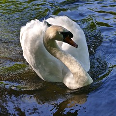 The heart of a swan (Englepip) Tags: blue white bird water river swan ripples aquaticfreshwater