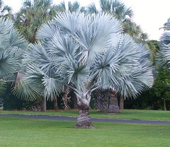 Bismarckia nobilis (Oriolus84) Tags: townsville australia queensland palm bismarckpalm bismarckianobilis bismarckia arecaceae andersonparkbotanicgardens andersongardens botanicgardens cultivated palmtree leaves