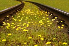 Flowers (daria_darek_photography) Tags: flowers train yellow bielefeld germany szyny sony alpha a58 retro blumen
