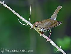 Ovenbird (An Ozark Naturalist) Tags: ovenbird jacksforkriver birds bird warbler woodwarbler ozarknationalscenicriverways ozarkriverways seiurusaurocapilla