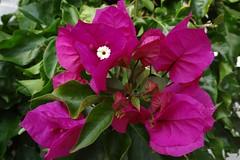 Bougainvillea (Drillingsblume) (Gartenzauber) Tags: floralfantasy doublefantasy