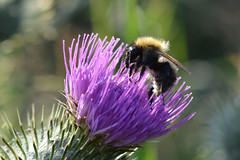 Bee busy on Cirsium vulgare (sianmatthews25) Tags: collingtoncommon cirsium vulgare spear thistle nottinghamshire