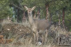 Veado, Red deer (Cervus elaphus) (xanirish) Tags: veado reddeercervuselaphusemliberdadewildlifenunoxavierlopesmoreirangc ngc wildlife selvagem nuno xavier moreira liberdade portugal mamferos veados vida cervuselaphus reddeer
