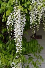 This Way (Jocey K) Tags: christchurch newzealand november flowers wisteria arrow