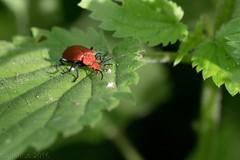 Cardinal à tête rouge (Pyrochroa serraticornis) (apzwee) Tags: insectes m06 été jardin macroproxy