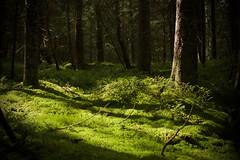 Bed of moss (Bullpics) Tags: forest serene moss outdoor plant tree nikon d7100 bullpics norway oslo landscape woods skiforeningen marka nordmarka