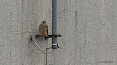 Turmfalke (Falco tinnunculus), Weibchen (Oerliuschi) Tags: vogel turmfalke greifvogel bird natur balkon hochhaus gefieder dunkletupfen