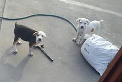 Lima - Av. Sebastián Lorente (Santiago Stucchi Portocarrero) Tags: cercado lima perú santiagostucchiportocarrero hund perro can cane chien dog hound