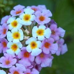 P9091241 (SnapRat200) Tags: epl6 macro extensiontube nature olympus flowers