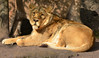 1052 Mein Schmusekätzchen :-), die Löwendame. My cuddly cat. :-) (Fotomouse) Tags: fotomouse flickr animals animal tier tiere natur nature zoo zürich zurich schweiz swiss svizzera switzerland löwe löwen outdoor draussen liegend schmusekatze zatze cat wildkatze