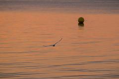 Flying at Sunset (Infomastern) Tags: skanr bird fgel hav sea solnedgng sunset