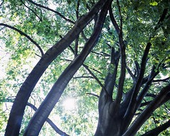 20030518_IMG_0012_trm_mod (NAMARA EXPRESS) Tags: landscape tree gaeden botanicalgarden north fine outdoor color hokkaidouniversitybotanicalgarden sapporo hokkaido japan film fujifilm velvia 100f plaubel makina67 makina nikkor 80mm f28 canon canoscan 9000f scanner scan namaraexp