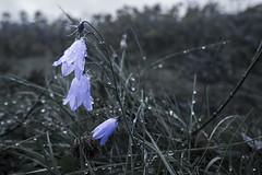 3 Harebells (~Arles) Tags: flowers iceland skaftafell plant dark grass waterdroplet nature purple muted harebell