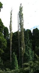 Photo of Populus_nigra_Italica