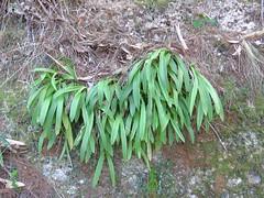 Cestichis reflexa 2 (barryaceae) Tags: coorabakh national park australianrainforestplants australian rainforest plants species new south wales australia newbys lookout ausrfps ausorchid orchidaceae epiphyticorchidsorchid