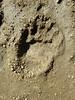 Impronta di orso (NuMo architetti) Tags: pescasseroli cicerana abruzzo orso impronta orma claudio nurzia
