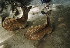 Oh deer (Ami Van Caelenberg) Tags: analog analogue disposable disposablecamera fujifilm japan miyajima deer animal travel asia itsukushima hiroshima shrine shinto