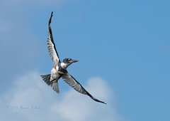 Belted Kingfisher female in flight (Jamie Felton Photo) Tags: florida wildlife beltedkingfisher usa bird flight southflorida nature megacerylealcyon specanimal