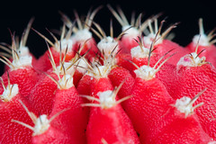 Spikes (jeff's pixels) Tags: red cactus plant prick nature macro nikon d500