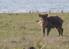 Wild Boar(Sus scofra) (stuartreeds) Tags: infocus wildboar pig india boar corbettnationalpark animal