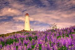 Reykjanesviti Iceland (Geinis) Tags: iceland canon flowers flower lighthouse reykjanes reykjanesviti clouds colors landscape geinis