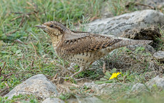 DSC3364  Wryneck.. (jefflack Wildlife&Nature) Tags: wryneck birds avian wildlife wildbirds woodlands woodpecker woodpeckers moorland heathland hedgerows farmland forest countryside nature